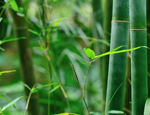 Bamboo's potentials are explored by MIT